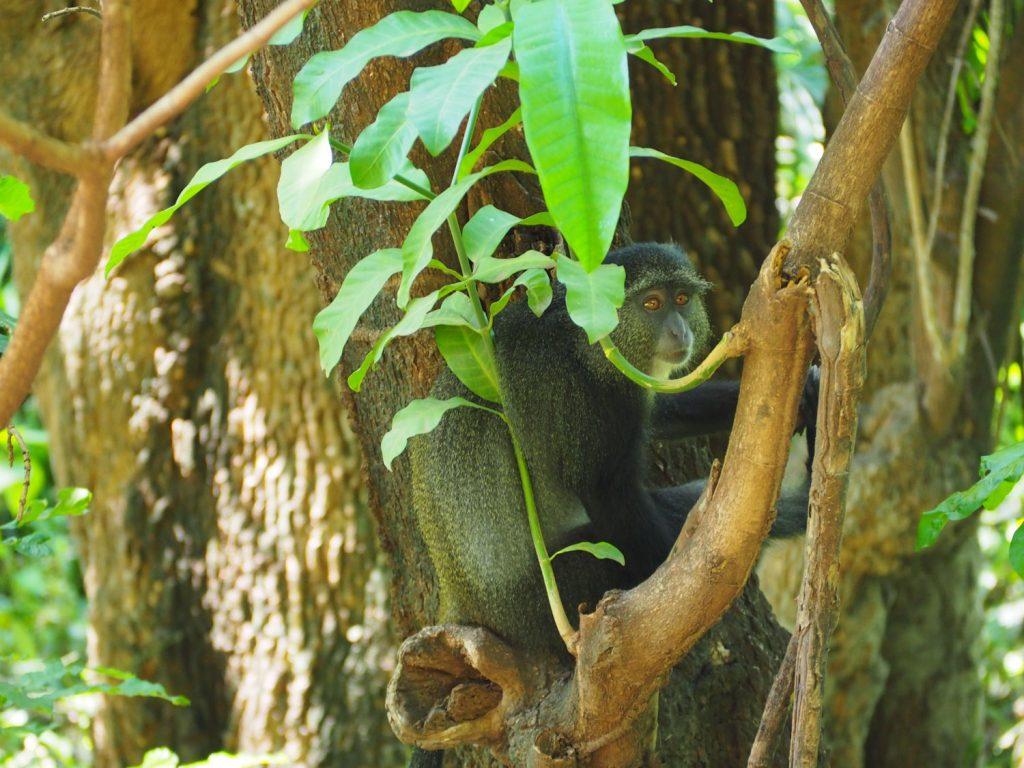 樹木の中を群れで動きまわっていたブルーモンキー。体毛の色が光の当たり具合によって、ブルーにみえるとか。