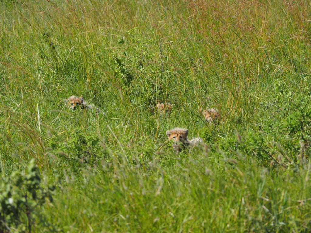 道路側を見つめるお母さんの後ろには、叢から微かに顔をのぞかせる5匹のお赤ちゃんチーターが。