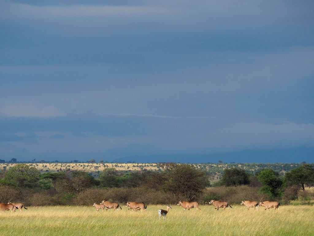とても貴重なフサミミオリックスの群れ。ガイドのユスフはタランギレで見るのは初めて。キサモも6年ぶりと!