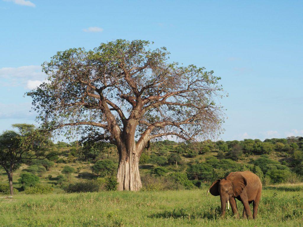 タランギレの代名詞、バオバブとゾウ。