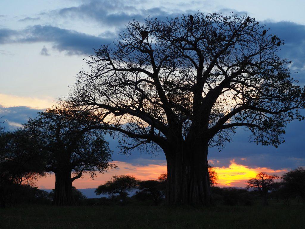 バオバブとアフリカの夕日。