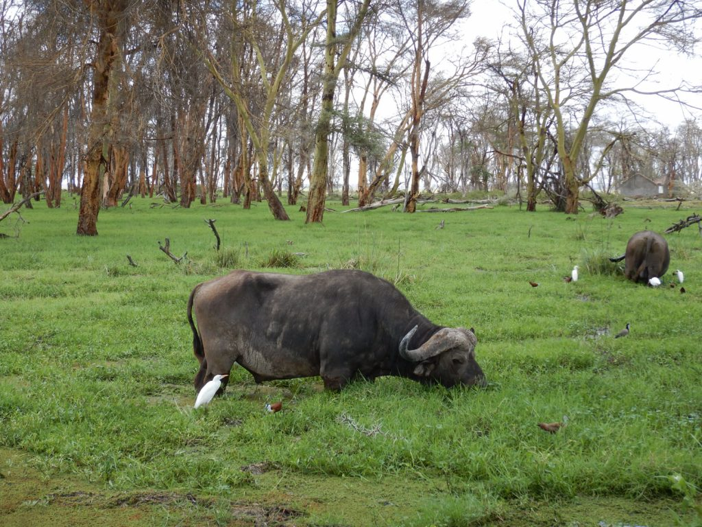 ロッジ近くの湿地帯ではバッファローがのんびり草を食んでいます。
