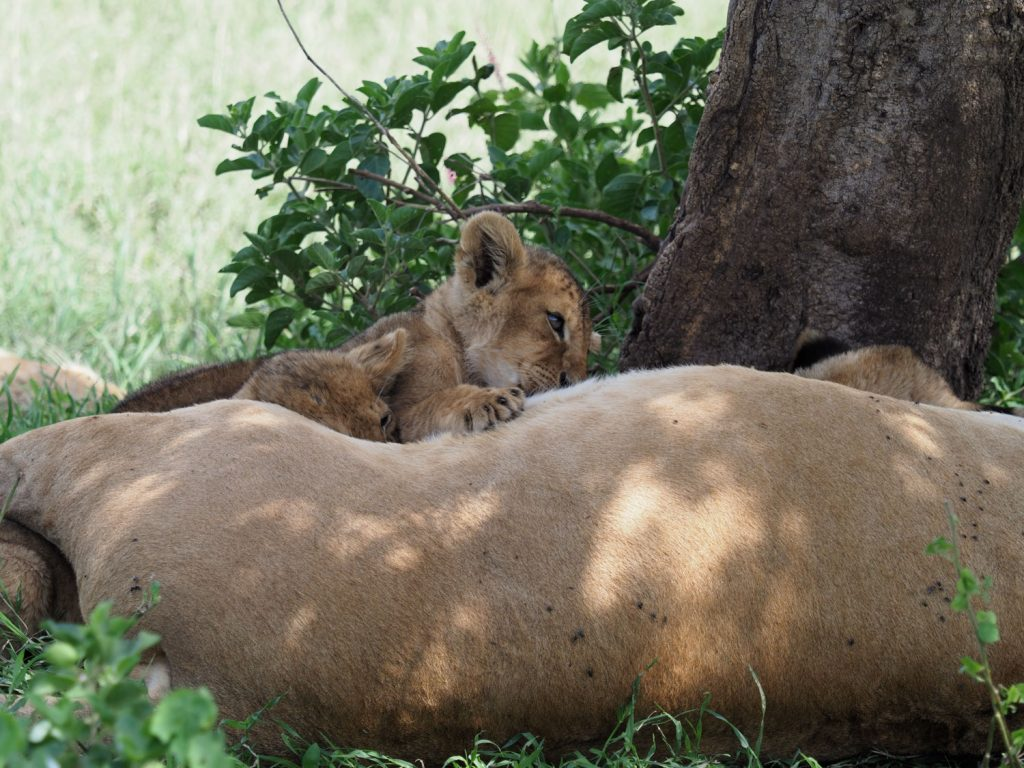 お乳を飲むライオンの子どもたち