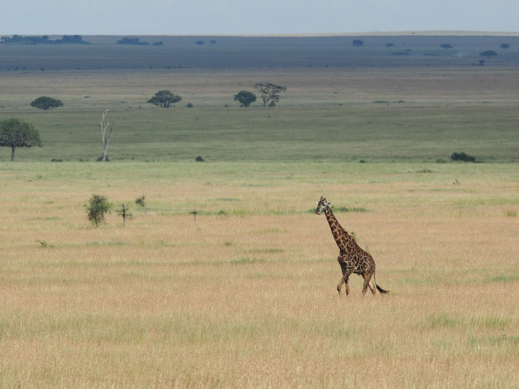 美しいグラデーションの草原を優雅に歩むキリン