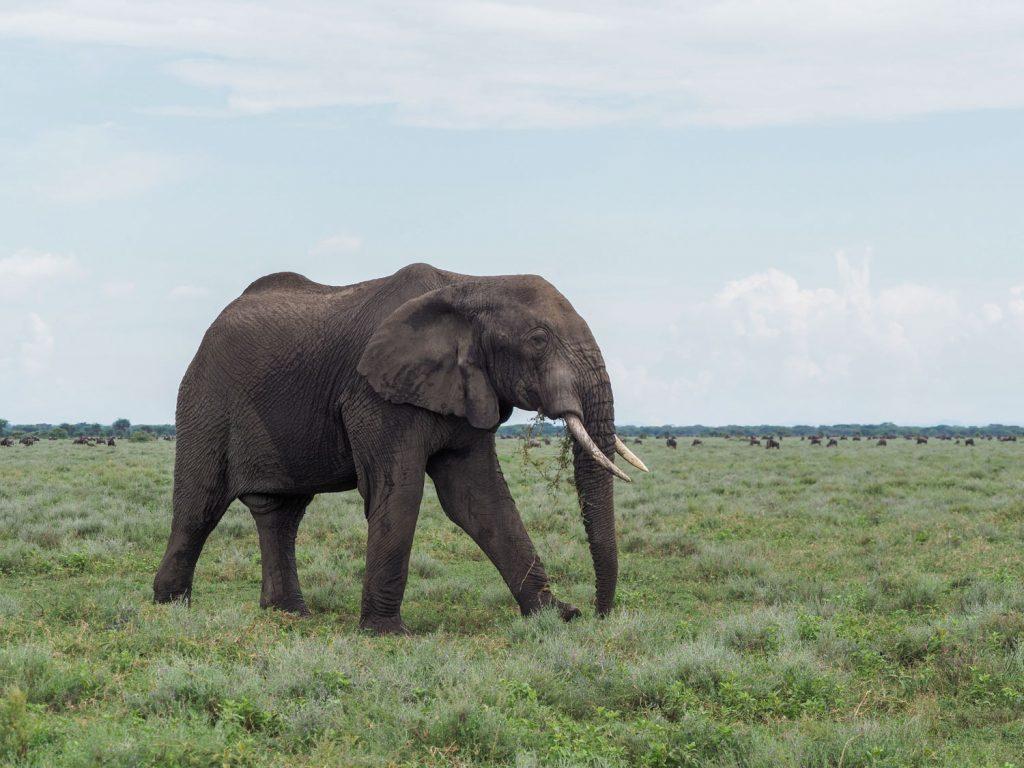 草を食みつつ悠々と草原を移動するオスゾウ