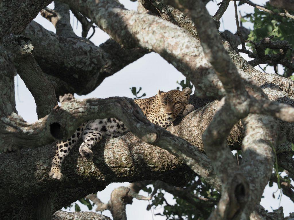 セロネラ地区で樹上で憩うヒョウと出会う
