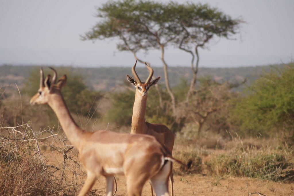 公園の外ではゲレヌクも。キリンのように長い首を持った美しいレイヨウ類です。