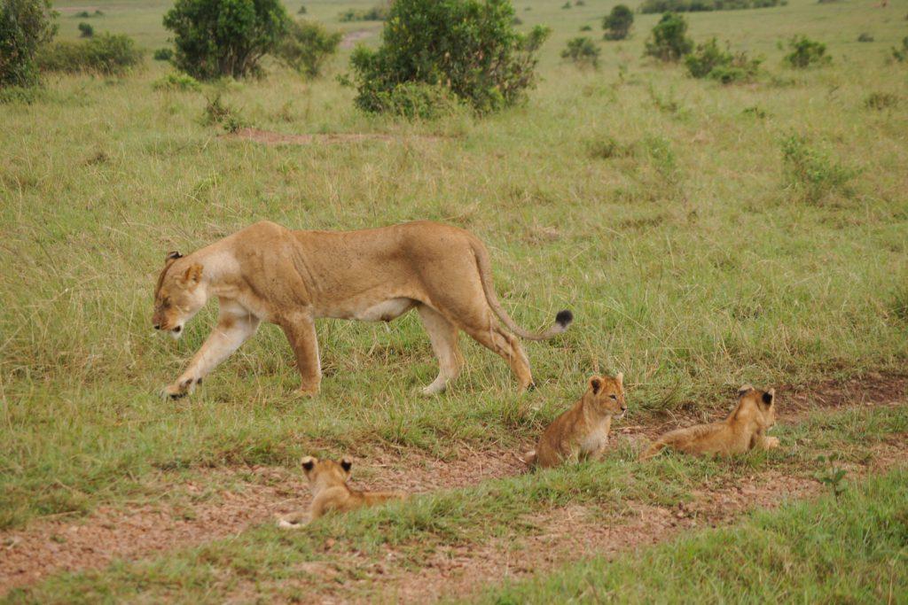 赤ちゃん連れのメスライオンも!