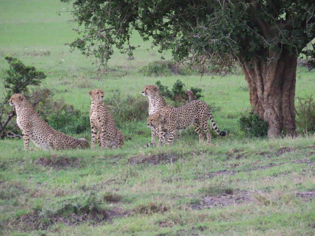 マサイ・マラで有名なチーター5兄弟も!揃って立ち上がった瞬間はとってもカッコいい!(1頭は寝てましたが。。)