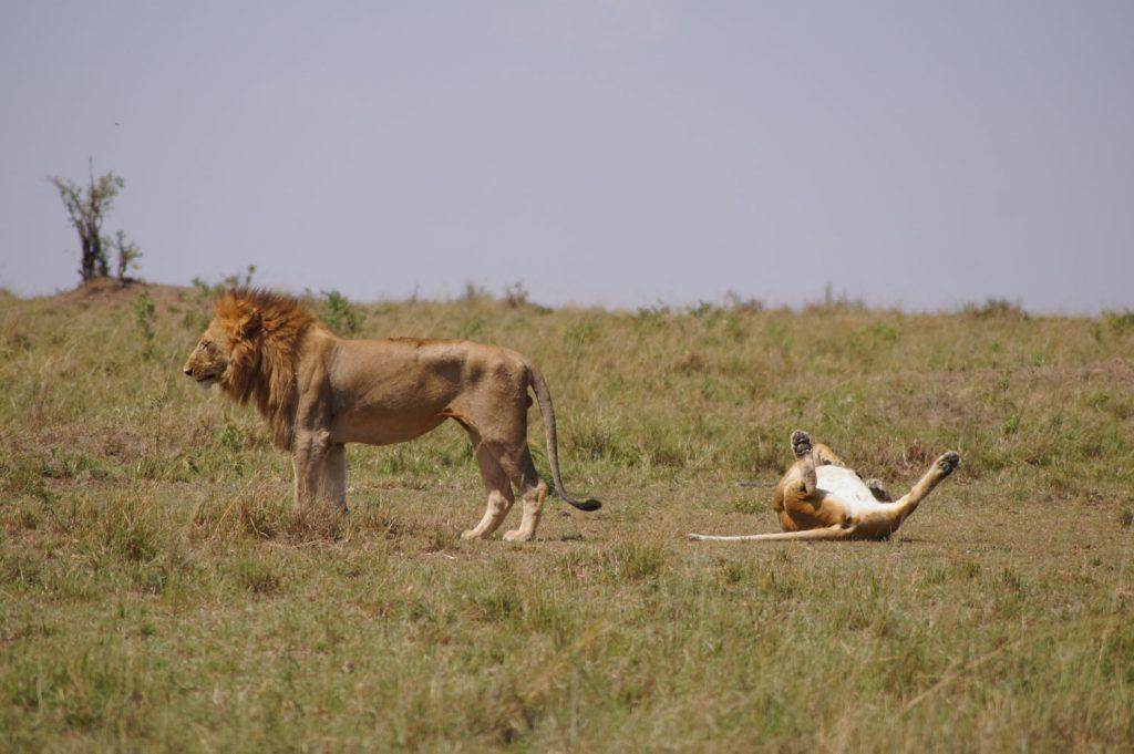 メスライオンがゴローン