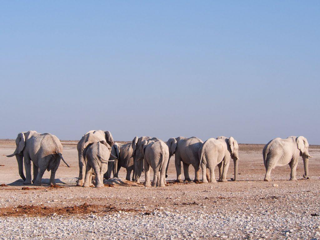 ゾウの群れも。白い泥で泥浴びをするので、白く見えます。
