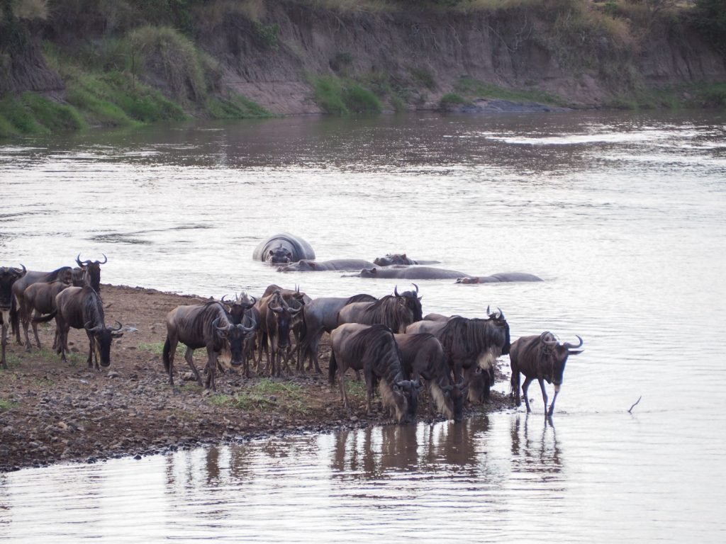 既に数等のヌーが川岸に。のんびりと給水中。