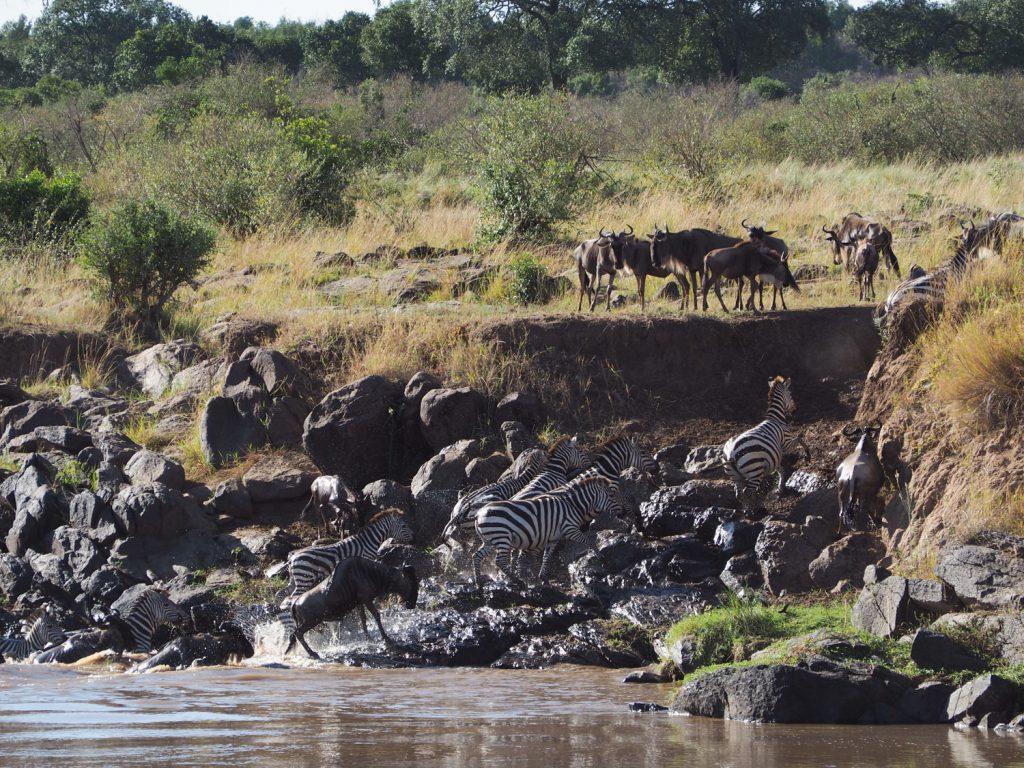 渡り切った後も、対岸に残る仲間を心配そうに眺めるヌー達。中には、川を引き返し、仲間を呼びに行く者も。