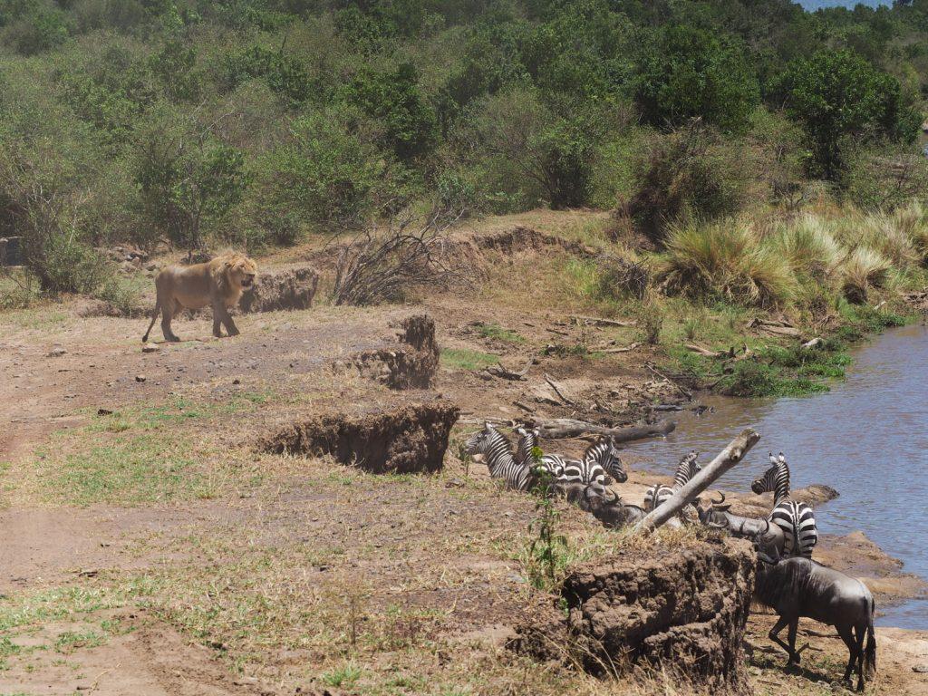 必死に川を渡り切ると、沿岸に待ち伏せているのは、昨日と同じオスライオン。