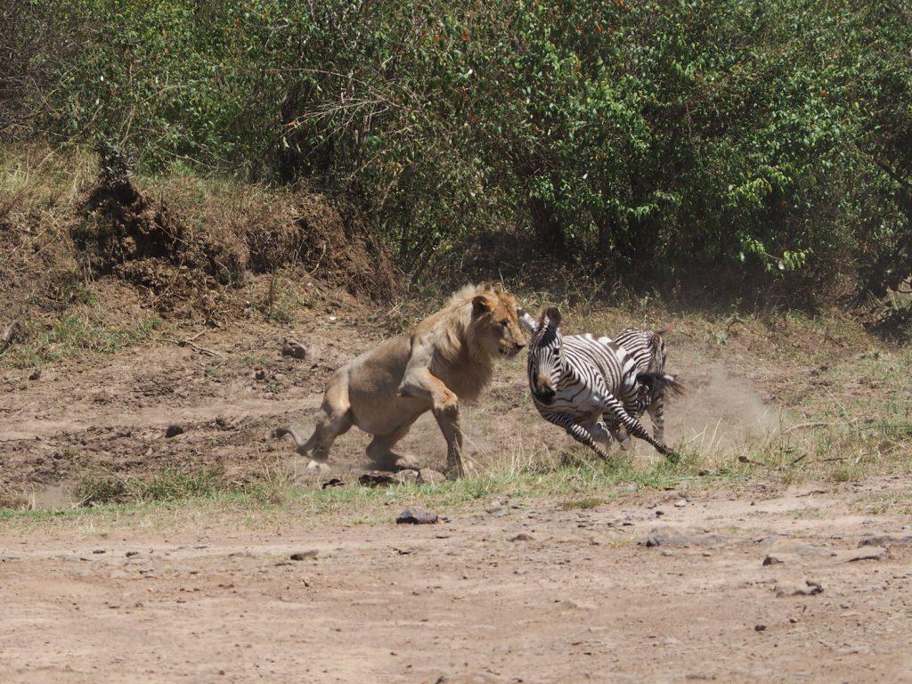 子どものシマウマを狙うも、残念ながら失敗。群れを離れたばかりの若いオスは、狩りが苦手なようです。