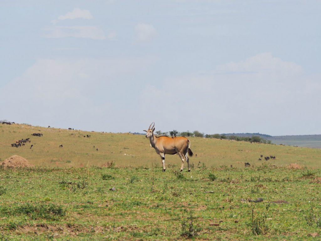 羚羊類で最も大きいといわれるエランド。この時期はエランドが多いようで、エランドの群れをよく見かけました。