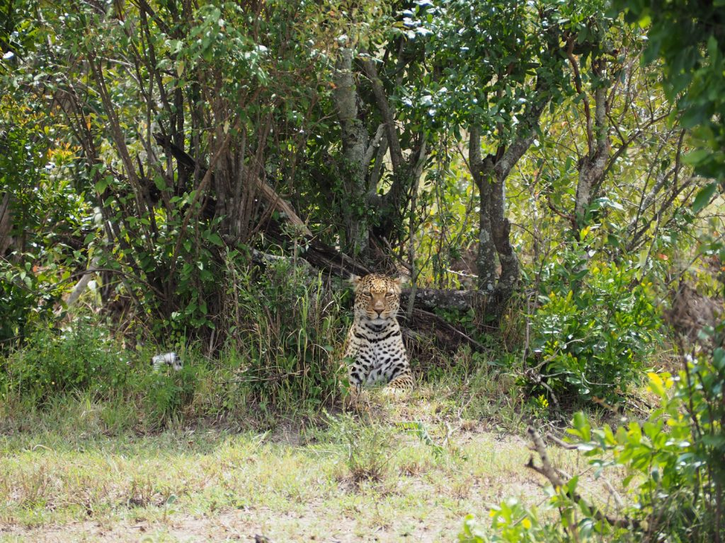 東側に移動してから探し続けていたヒョウ!茂みの影から発見。