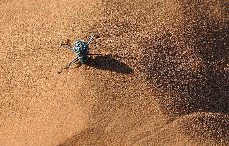 南部アフリカ、ナミビアの砂漠に生息する昆虫「キリアツメゴミムシダマシ」