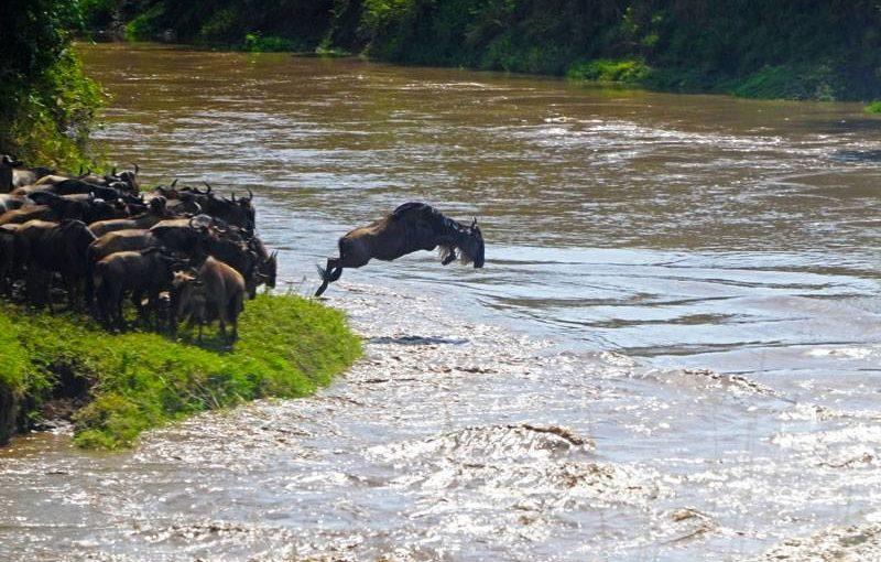 マサイ・マラ国立保護区でヌーの川渡りを目撃