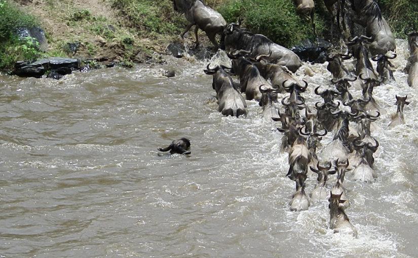 マラ川を渡るヌーの群れ