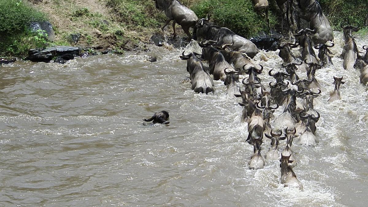 特別企画 ヌー大移動の季節 マサイ・マラで徹底サファリ 10日間