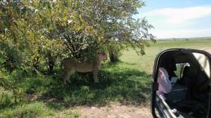 日陰で休む若い雌ライオン。