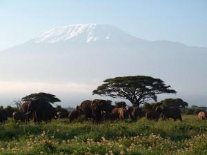 アフリカ最高峰、キリマンジャロを背景に。ゾウの群れです。