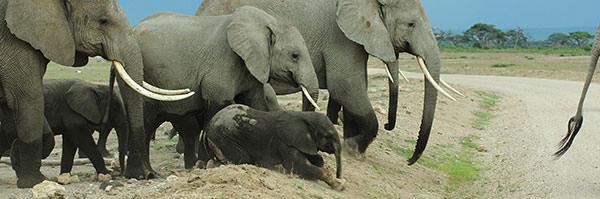 道を渡るときは緊張するようです。子ゾウはすんなり渡れません。家族がそれを励まします。