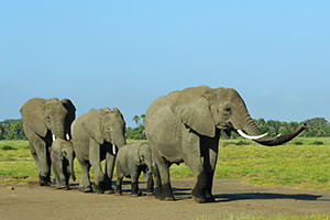 ゾウ一家子供を群れの真ん中付近に入れています。大人のゾウが鼻を上げて周辺のにおいを拾って警戒しつつ進みます。