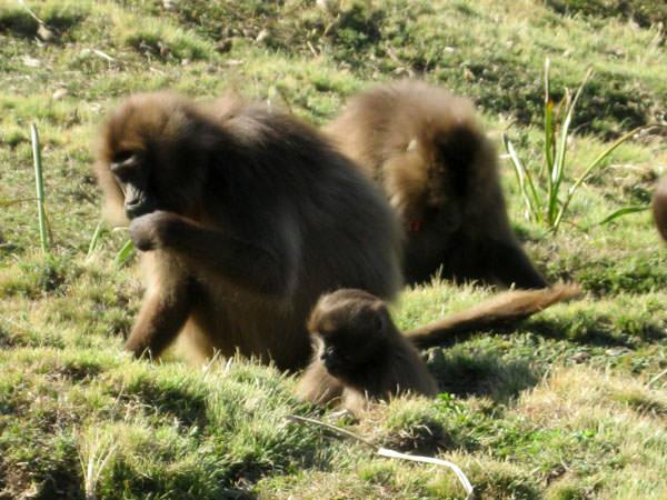 標高3260mで暮らすゲラダヒヒのお母さんと子どもです。200頭位の群れでした。