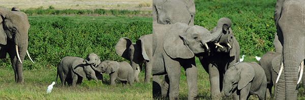 左 : 子供たちが遊びます。親ゾウや大きな兄弟たちはそれを見守る。人間の前にこれだけさらけ出してくれるのも珍しいです。 右 : 遊ぶのに一生懸命。