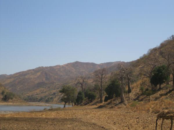 川沿いに並ぶバオバブの木です。