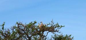 コシジロハゲワシ 大型のハゲワシです。
