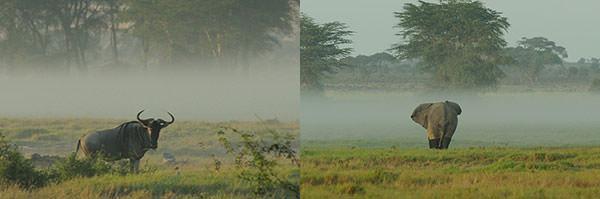 左 : この時期、朝もやが立ちます。ヌーがぽつんと。ヌーは移動しないのか、ヌーは群れのはずなのになぜ1頭だけなのかと、テレビ映像のままのシーンではない風景に質問が飛びます。 右 : オスゾウがゆったりと朝もやの中に消えていきます。