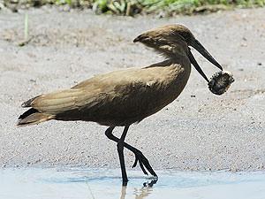シュモクドリ 水溜りでシュモクドリが一生懸命何かを食べようとしています。なかなか口に入りません。それは小亀でした。亀は必死です。絶対に頭も手も足も出しません。