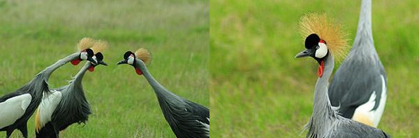 左 : アンボセリ国立公園名物と言っていいほどこの鳥は多い。繁殖の時期を迎えているのだろうか動きがあわただしい。 右 : オスとメスの区別が難しい。