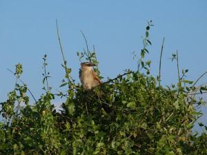 マミジロバンケン カッコウの仲間です。 周りの枝の葉が食べられています。キリンでしょうか。
