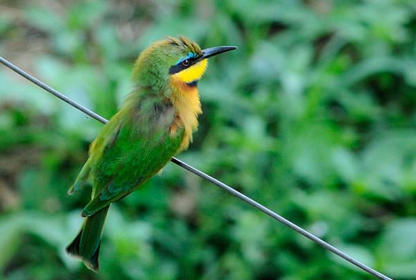 マサイマラのロッジは形だけでも針金でフェンスが出来ていて、肉食獣などは入ってこないようになっていますが、鳥は自由自在。小さなハチクイが飛び回っています。