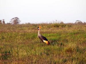 カンムリヅル 隣国ウガンダの国鳥です。