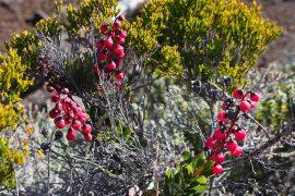 レユニオンには固有植物が24種あり、そのほとんどが保護対象種となっています。