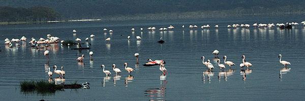 ツアーはナクル湖国立公園に入ります。このところの雨で湖の水位が上がり、若干数をへらしながらでも遠来の旅人をフラミンゴとペリカンが迎えてくれます。