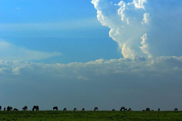 積乱雲と草を食むヌー。ここにキリンでもいてくれたらいかにもアフリカ風景なんだけど、どこかの牧場の写真みたくなってしまった。でも見るからにサバンナでしょ。