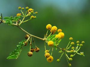アカシアも花を咲かせ、芳醇な香りを放ちます。