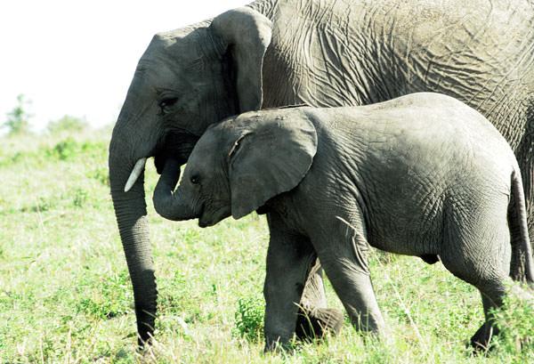 ゾウの母と子かまたはお姉さんと弟かな。大きさからはお母さんかな・・小ゾウはいったい何を食べてるの?とばかりに鼻を向けています。