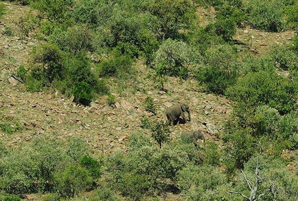 キャンプ近くの山斜面。ゾウが大好きな木の葉を食べています。彼らは結構高いところに行きます。