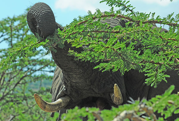 アカシアの若い枝をトゲごと食べます。草よりも味があり栄養価が高い木の葉、枝、木の皮が好きです。近い距離から撮影です。