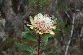 キリマンジャロの固有種、プロテア・キリマンジャリカ。