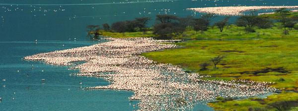ボゴリア湖にいましたフラミンゴ。 ナクル湖は水位が上がりすぎて4月よりも数が少ないので撮影できませんでした。