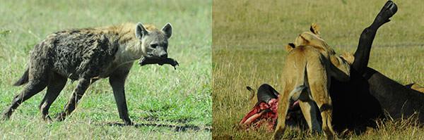 左 : ブチハイエナ。お約束のカット。何かの動物の脚を咥えています。骨を砕く顎の力はライオンより強いとか。 右 : ライオンがバッファローを倒しました。夜中か早朝か。周辺には口の周りを赤くした一家がグダグダしています。