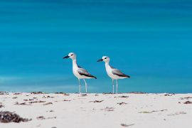 白くて華奢な身体が青い海に映える、カニチドリ